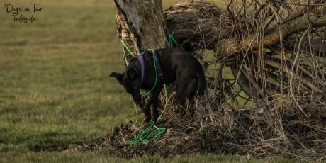 entlaufener Hund mit Schleppleine am Baum festgehangen