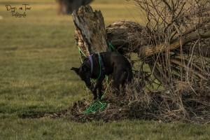 Hund entlaufen: Hündin Juno mit Leine verheddert am Baum