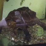Paul die Wasserschildkröte